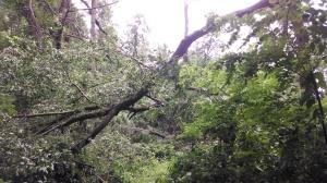 butternut tree down
