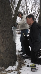 Jeff hammers in the spile, which spills the sap out of the tree, and hangs the bag to collect the sap.