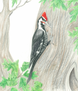 Pileated woodpecker by Gabrielle Anderson, from Hunting Red.