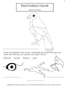 red tailed hawk coloring page - free bird printable set of hunting red pocket mouse