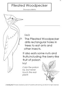 Pileated Woodpeck worksheet from Hunting Red (PocketMousePublishing.com)