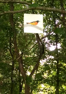 ...set 1/2 an orange out on a tray feeder or deck railing to attract the Baltimore Oriole. This one, created by artist Brenna OHara, is a permanent resident along ICNCs woodland trail orange).