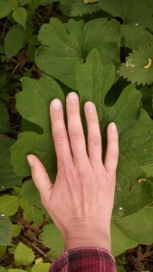 The bloodroot leaves are bigger than my hand.