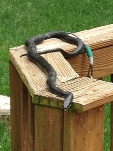 Vutha - last year's eastern rat snake
