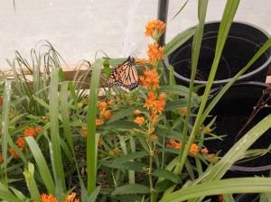 Butterfly weed ready for transplant.