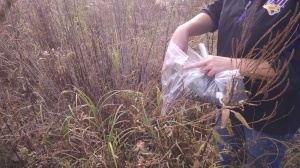 Prairie seed is expensive, and local seed is the best, so we have been busy collecting. Paper bags are better, but we didn't have any on hand when this culver's root presented itself.