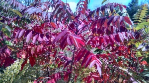 Sumac leaves only turn red before falling off.