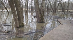 I've never known it to flood in December before. It is usually a light precipitation month for us, and the precipitation is usually in the form of snow, not rain. But Wood Duck Way and the silver maples in the floodplain are under water, as the Red Cedar River and Indian Creek spill over their banks.