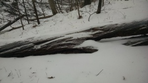Windblown snow creates delicate patterns on downed trees.